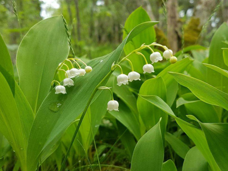 Тенелюбивые растения Ландыш