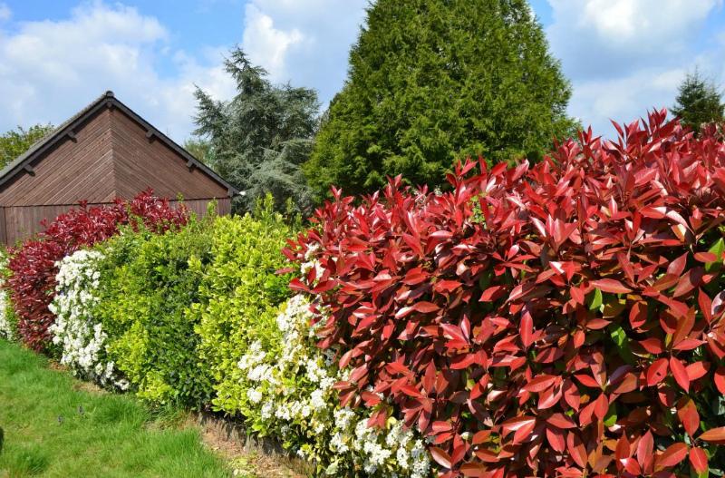 изгородь из декоративных кустарников