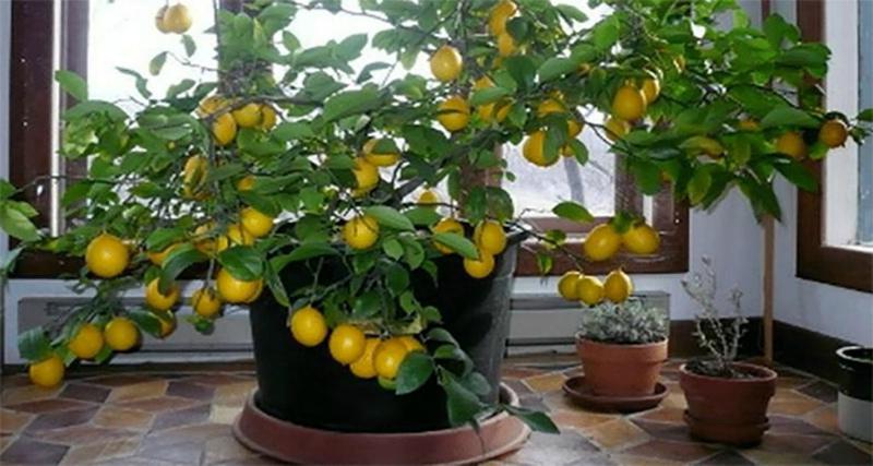 Домашний лимон на широком поддоне