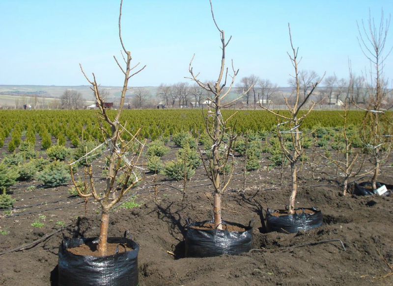 Посадка деревьев с закрытой корневой системой
