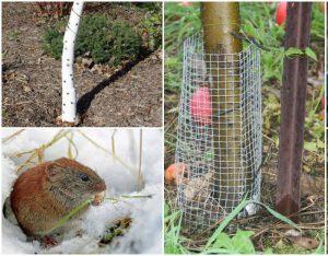 Защитить яблони от грызунов
