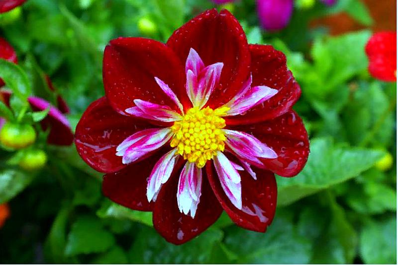 Цветок георгинов