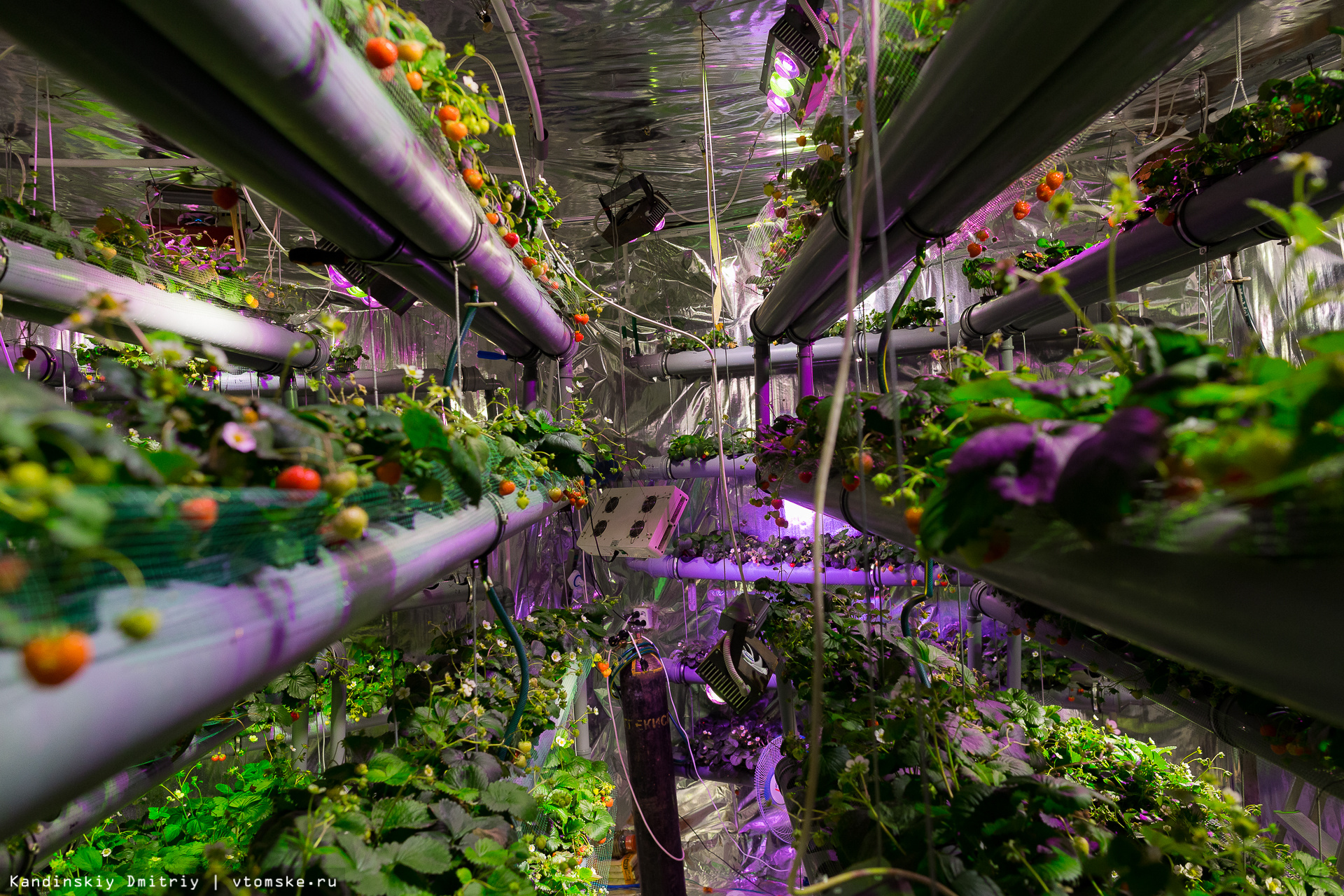 Выращивание в подвале - клубника
