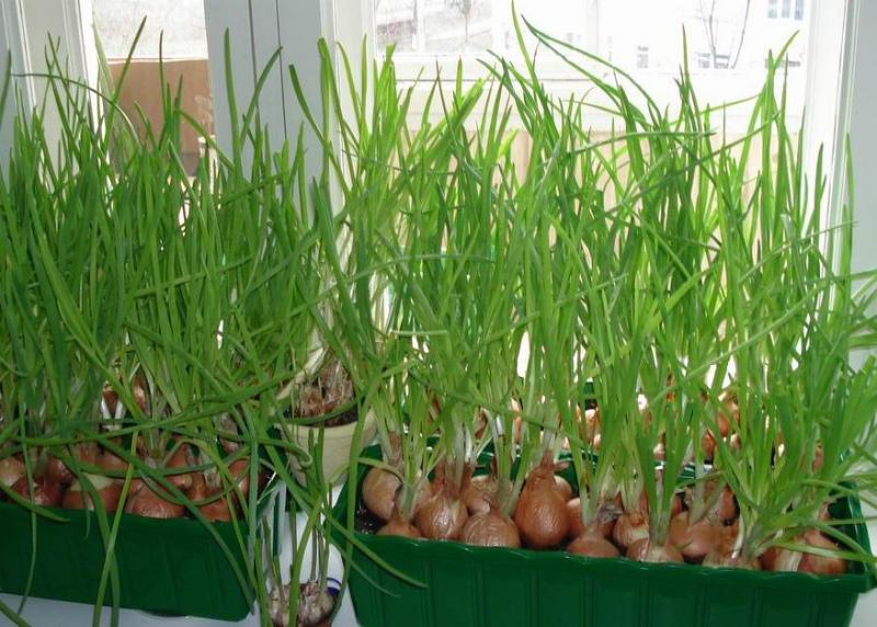Огород на подоконнике - лук на перо