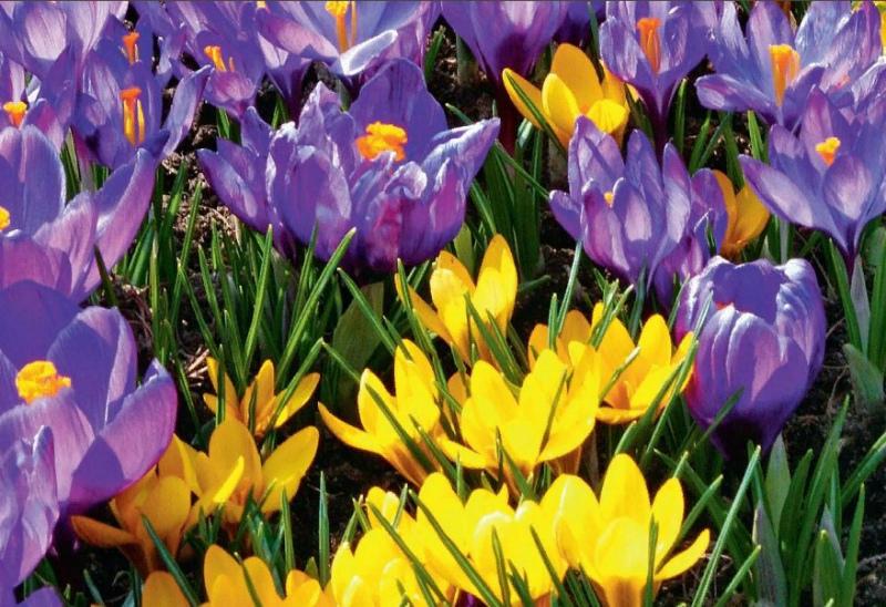 Разноцветье крокусов