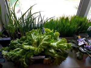 Салат на окне