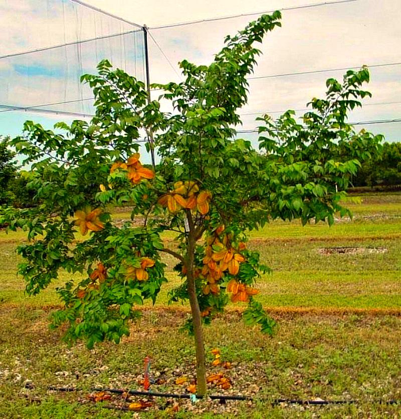 Плодоносящее дерево карамбола