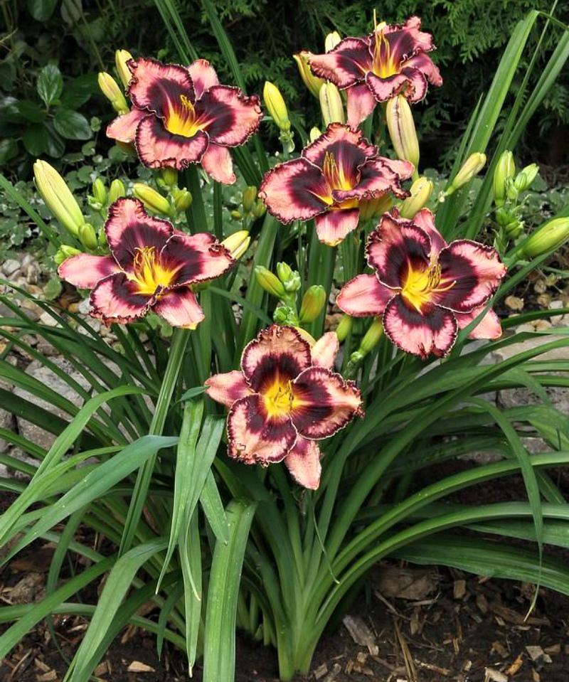 Цветы - лилейник