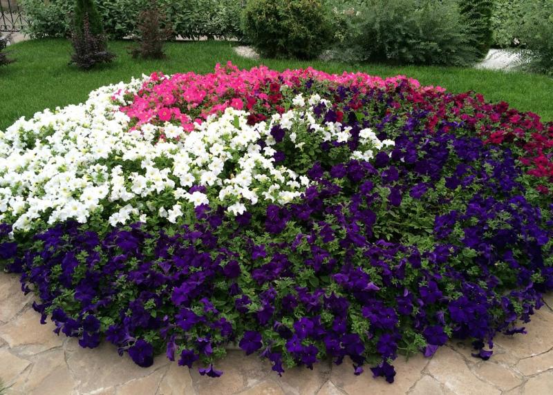 Цветы петунии на клумбе