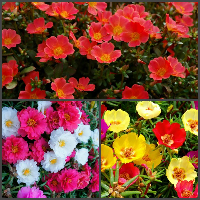 Цветы - портулак