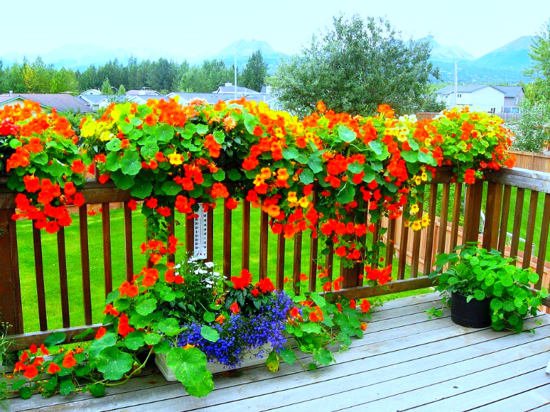 Цветы - вьющаяся настурция