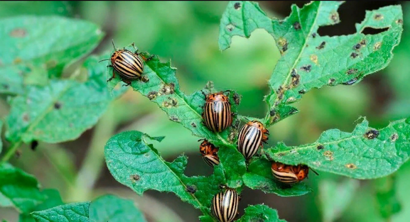 Деготь против колорадского жука