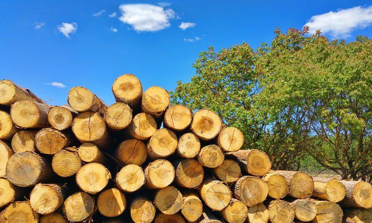 Древесина тополя: основные принципы ее обработки