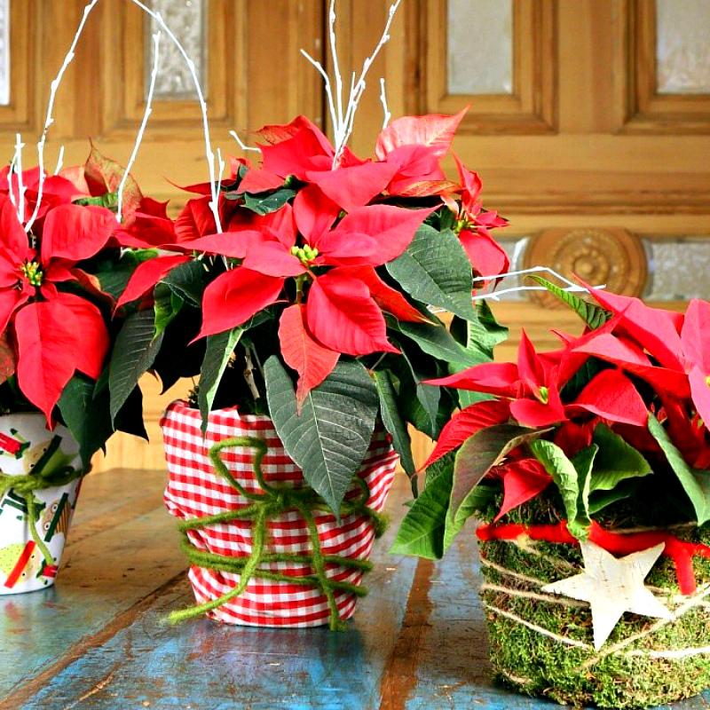 Что сделать чтобы рождественская звезда покраснела