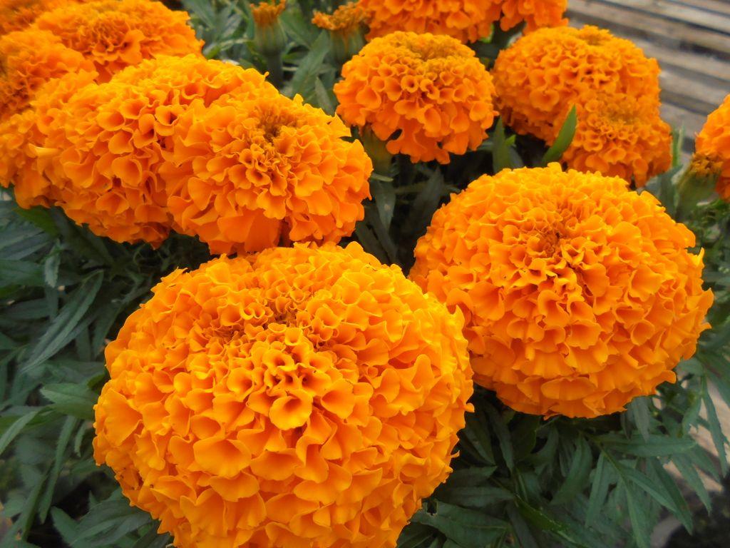 Крупноцветковые бархатцы