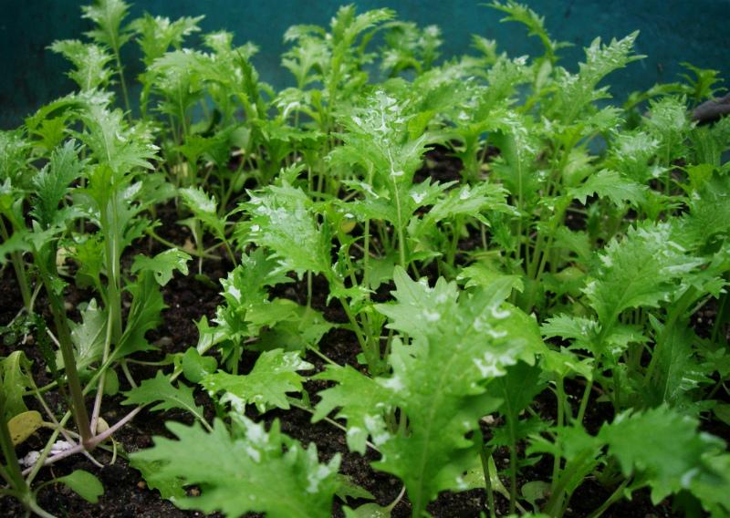 Молодые растения японской капусты