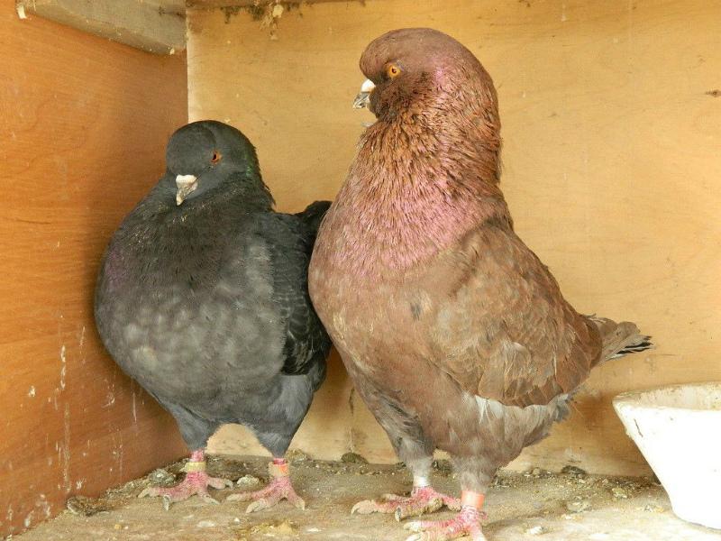мясные голуби Кинги