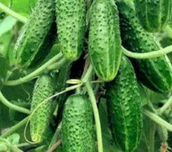 Надежные сорта огурцов для гарантированного урожая