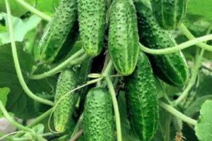Огурцы-зеленцы