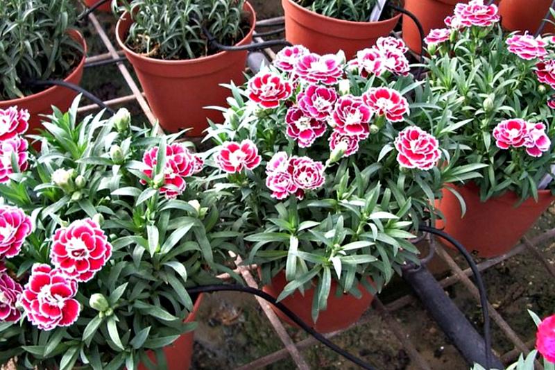 Садовые цветы -Гвоздика Шабо