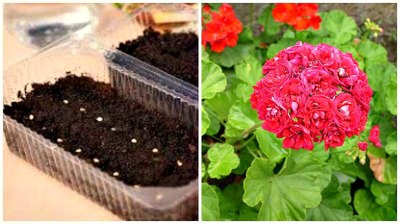 Садовые цветы - пеларгония