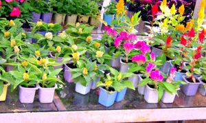 Чтобы цветы радовали летом, сейте в январе