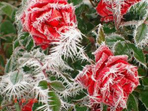 Замерзшие розы могли спасти криопротекторы