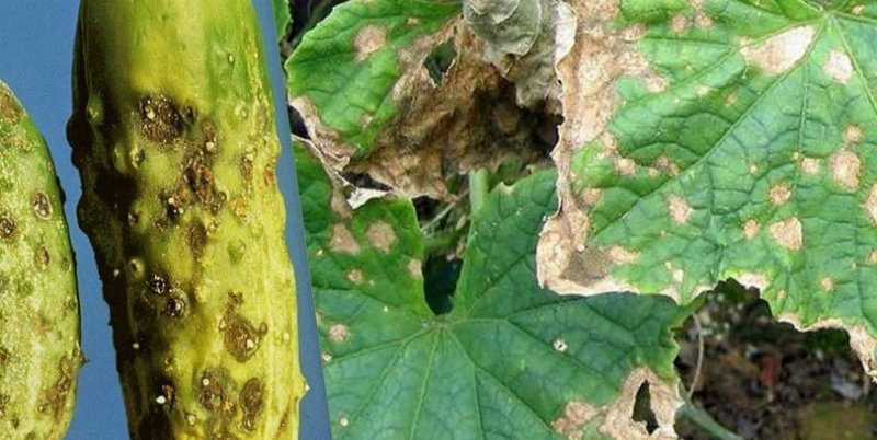 болезни растений кладоспориоз