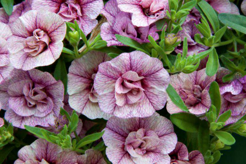 Время сеять петунию: всё про выращивание рассады
