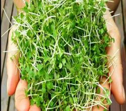 Микрозелень - источник витаминов, минералов и биологически-активных веществ