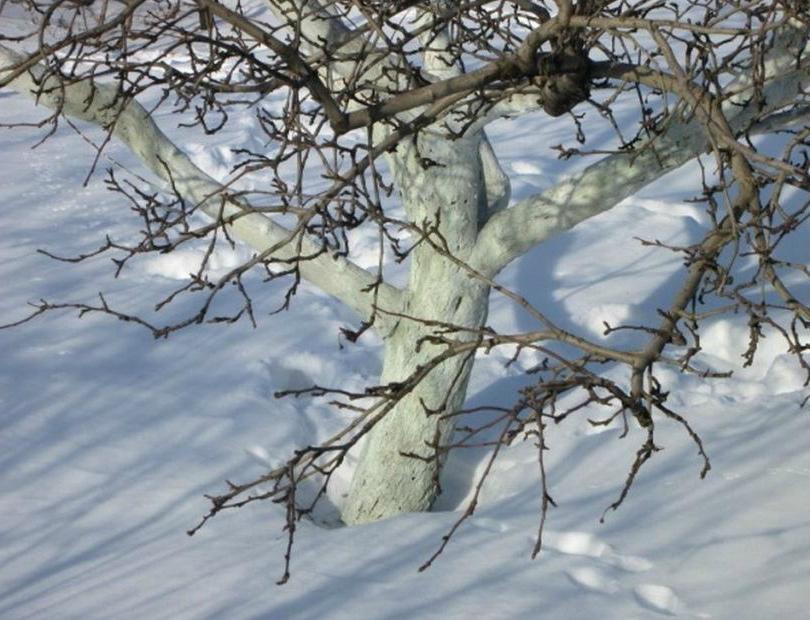 Весна, зеленоглазая красавица, уже совсем на подходе. Самое время отправиться на участок и провести обследование сада: как прошла зимовка. Не повреждена ли кора не деревьях, не пострадали от морозов какие-либо растения. Не слишком ли вольготно ведут себя мыши и не повадились ли зайцы. Одним словом, нужна тщательная инспекция. 2Внимательно осматриваем деревья Февраль-начало марта — самое опасное для коры деревьев время. Днем солнце нагревает кору, а ночные морозы её подмораживают. В результате кора получает ожоги, на ней образуются трещины и разрывы. Именно для защиты коры от ожогов и проводится осенняя побелка стволов и скелетных ветвей. Фото Обследование сада — сохранилась ли побелка Если при обследовании вы заметили, что побелка осыпалась или смылась, то защитите стволы и ветки. Для этого оберните их тонким картоном, крафт бумагой и зафиксируйте шпагатом или бечевкой. Можно обновить побелку, но делать это можно только в день оттепели. 3Защита стволов от грызунов Фото Притаптывайте снег вокруг стволов Каждый раз, приезжая на участок, притаптывайте снег вокруг стволов деревьев. Во-первых, это способствует влагосохранению. Во-вторых, перекроет путь к стволам для мышей, которые особенно активируются к концу зимы. Запасы-то уже подъели, вот и целятся на кору деревьев и кустарников. Если вы обнаружите на коре деревьев или кустарников повреждения от грызунов, то предпримите защитные меры. Чтобы через открытую рану не происходило подсыхание тканей, замажьте повреждение садовым варом. Как приготовить его своими руками, мы уже рассказывали. В садовом центре вам могут предложить специальные средства для обработки и заживления ран на коре. 2Время обрезки деревьев и кустарников Конец зимы-начало весны — время проведения обрезки деревьев и кустарников. Эти работы нужно проводить в погожий день, но не затягивая время, пока не началось сокодвижение. Для обрезки подготовьте заблаговременно хорошие инструменты. Проверьте их исправность. Для выпиливания ветвей и сучков используйте с
