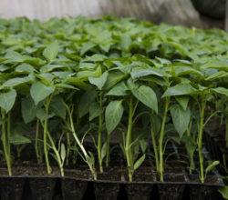 Начинаем посевную: как посеять и вырастить рассаду перца