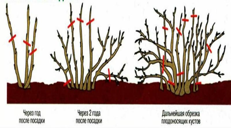 Схема обрезки ягодных кустарников