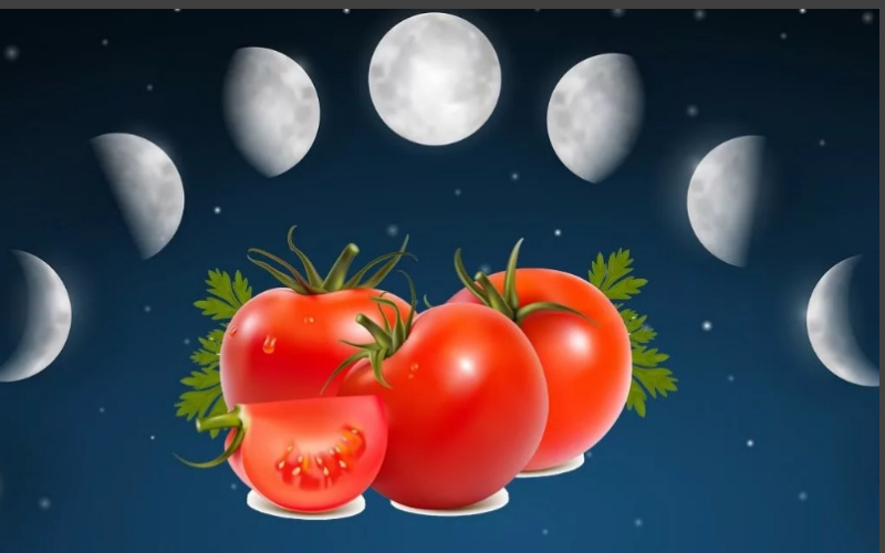 Томаты и лунный календарь