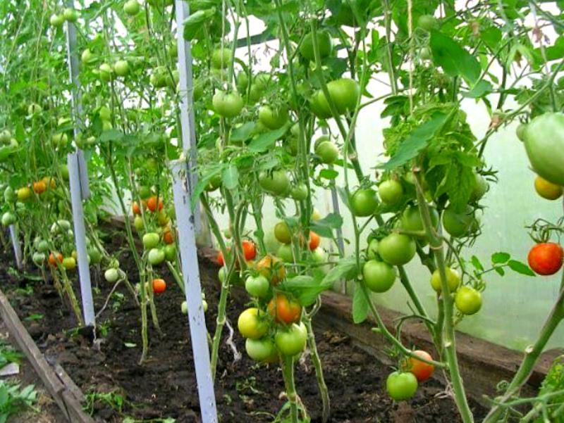 Ошибки - излишнее удаление листьев у помидоров