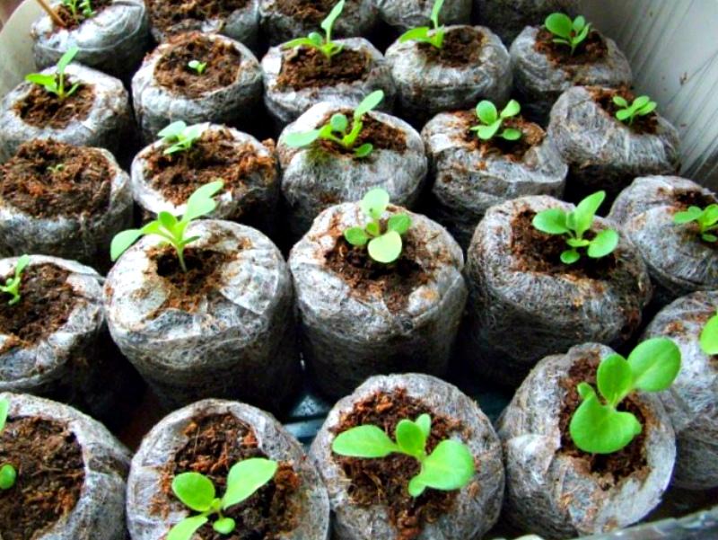 Выращивание в торфяных таблетках