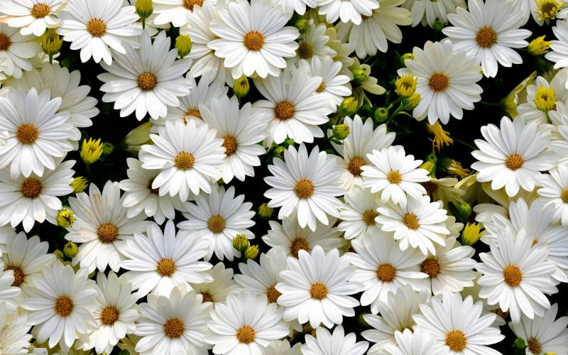 Белые ромашки