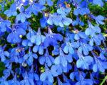 Лобелия -цветок лентяя