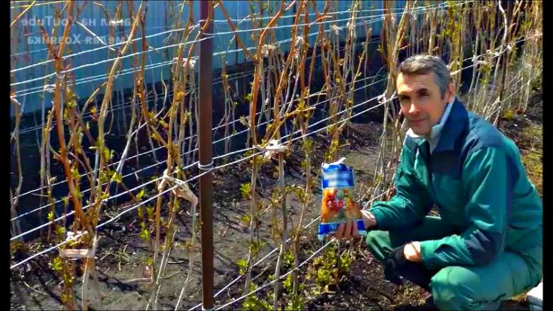 Малина весной - проведение подкормок