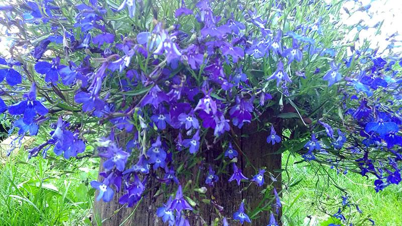 Нежнейшая синяя пена в саду