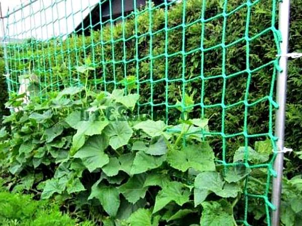 Огурцы на садовой сетке