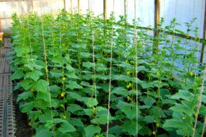 Советы опытных огородников по выращиванию огурцов в теплице