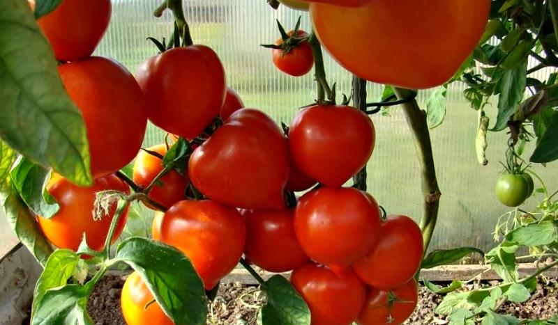 Овощи в теплице - томаты