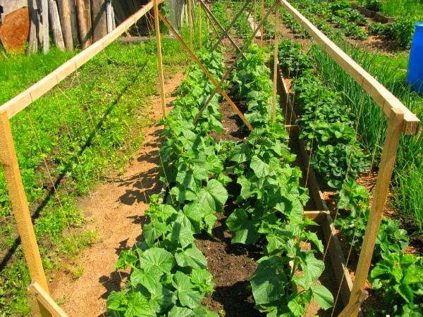 Вертикальное выращивание огурцов