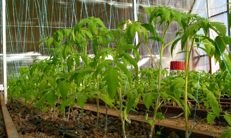 Высаженная рассада томатов
