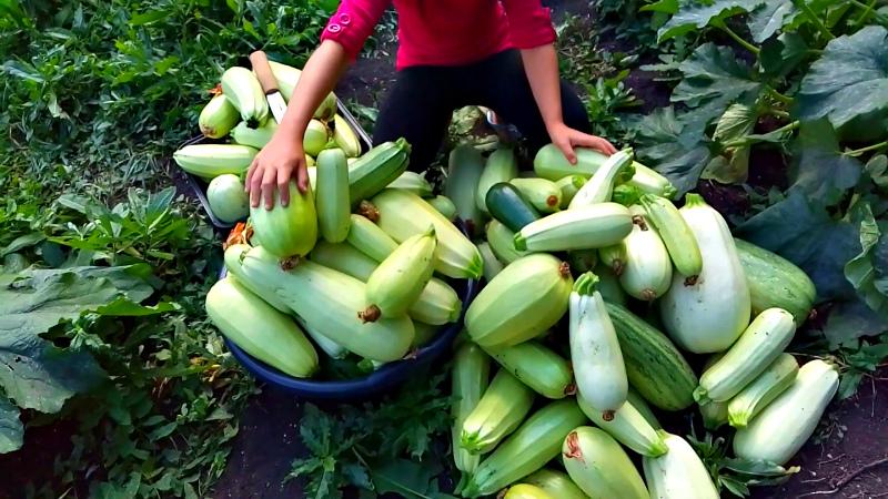 Богатый урожай кабачков