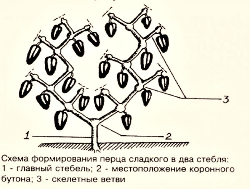 Формирование куста болгарского перца