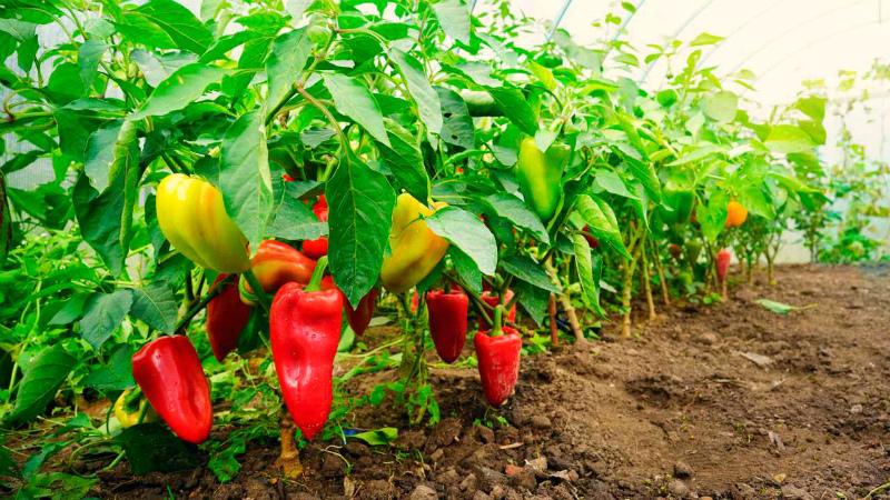 Формируется урожай перца