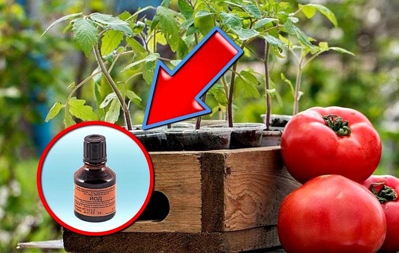 Йод для томатов