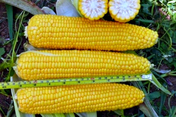 Молодая сахарная кукуруза